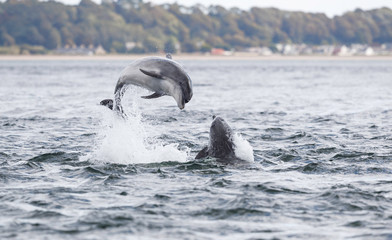 Wild dolphin in playful mood while hunting for migrating Atlantic Scottish salmon in the Moray Firth in the Scottish Highland.