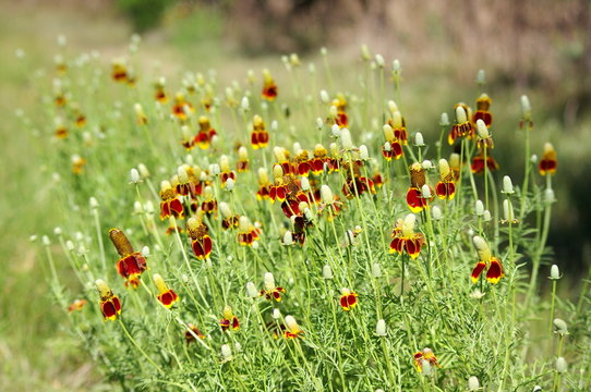 Thimble Flower also known as Mexican Hat, blooms in Texas. Long spindly stems with yellow and orange bloom.