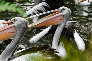 Few pelicans swimming in the pool at rainforest in Bali, Indonesia