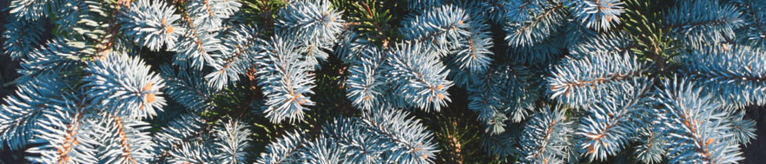 Blue spruce tree fir branches closeup view as abstract horizontal banner background for christmas and new year decoration design.