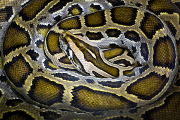 Colorful patterns and skin of python.