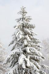 Fir in winter forest