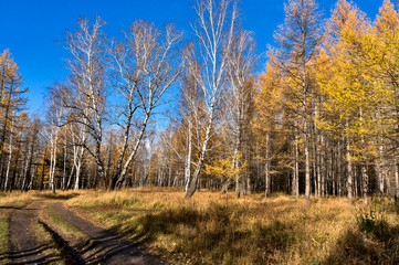 Wall Mural - yellow larch and birch trees illuminated by the sun in the autumn forest