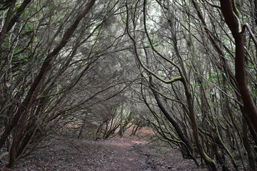 Beautiful laurel forest in the north of Tenerife in the Anaga Mountains