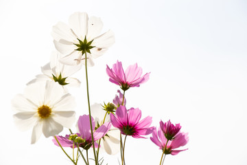 Beautiful pink color cosmos flower on white sky background
