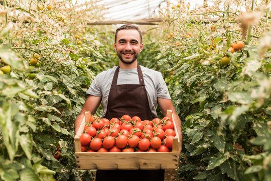 Happy organic farmer man harvesting tomatoes in greenhouse