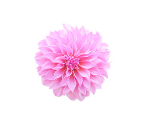 Top view patterns of ornamental  pink or purple dahlia flower blooming isolated on white  background,macro