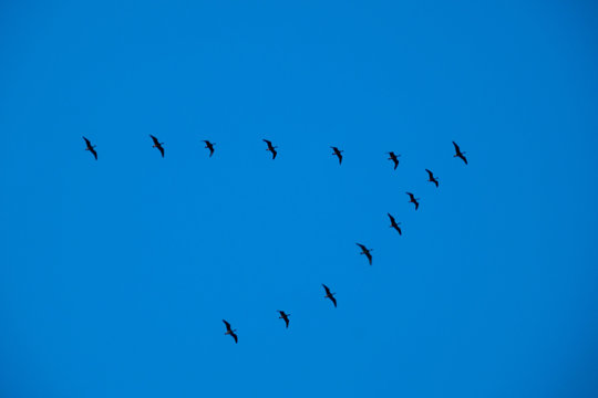 a flock of birds in the form of a wedge