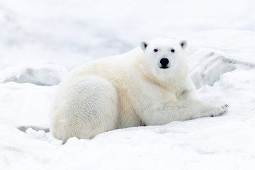 Photo sur Plexiglas Ours Blanc Polar Bears of Wrangel Island