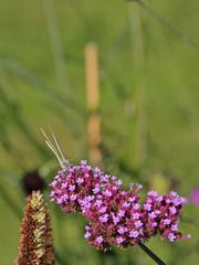 Kohlweißling an einer Blüte