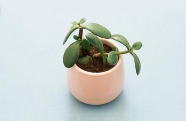 crassula ovata succulent