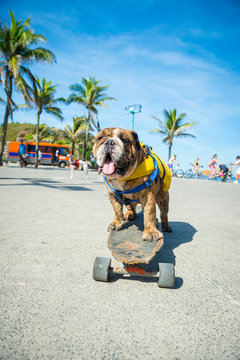 Happy bulldog riding a skateboard on the sidewalk in front of palm trees at Arpoador, near Ipanema Beach in Rio de Janeiro, Brazil