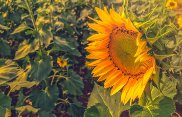 Fotobehang Zonnebloem Field of Sunflowers Helianthus annuus yellow illuminated texture.