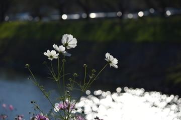 秋桜~Cosmos