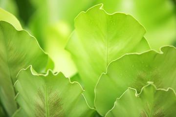 Wall Mural - close up of fresh fern leaf background