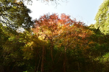 紅葉(Kouyou)~Autumn leaves.