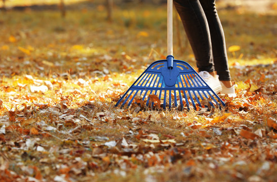 Woman cleaning up fallen leaves with rake on sunny day. Autumn work