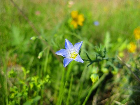 Linum Lewisii or Wild Blue Flax Wildflower