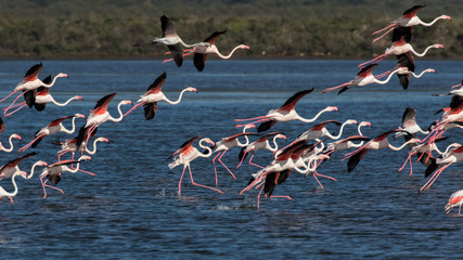 Garden Poster Flamingo flock of flamingos