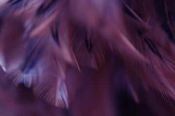 Blur Bird chickens feather texture for background Abstract, soft color of art design.