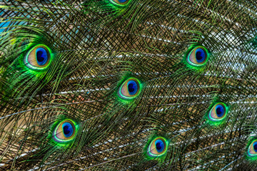 Male peacock feathers close up, abstract