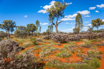 Beautiful flowering in the desert of  Central Australia, Northern Territory, Australia