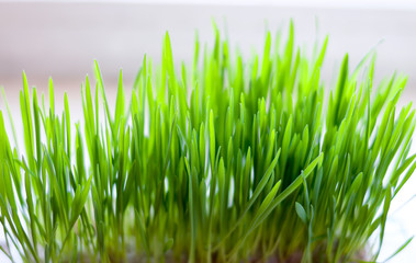 Grass for cats, grass bush to feed the animal.