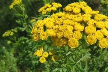 Tanacetum plants