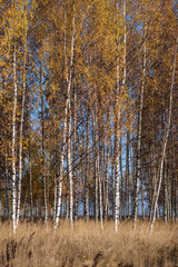 bright yellow colored birch tree leaves and branches in autumn
