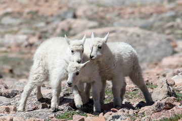 The Mountain Goats of Mt Evans 5