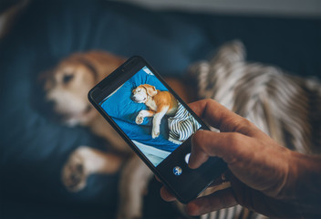 Beagle dog sleep in bed and his owner takes it photo with smartphone