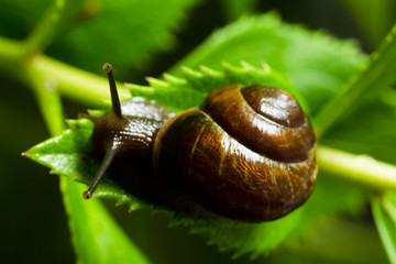 Snail crawling on green leaves close-up, defocusing