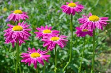 Pyrethrum pink (lat. Pyrethrum roseum), or Persian daisies bloom in the garden