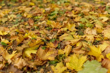 Fallen leaves of maple on the grass. Macro photo of yellow foliage on a sunny day. Seasonal countryside concept. Soft focus autumnal park photography. Vivid autumn fall background.