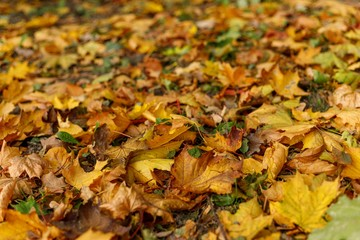 Fallen leaves of maple on the ground.  Macro photo of  yellow foliage in warm sun  rays. Seasonal countryside concept. Tilt-shift effect. Soft focus autumn forest photography.