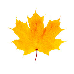 Macro golden yellow maple leaf isolated on white background. fall symbol weather. Botany flora concept