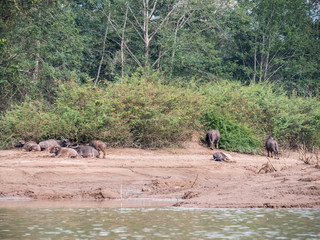 water buffalos at Nam Ou river