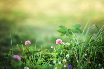 lawn with clover