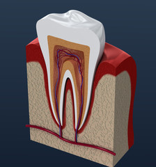 Sliced molar teeth. 3d renderings of endodontics inner structure .
