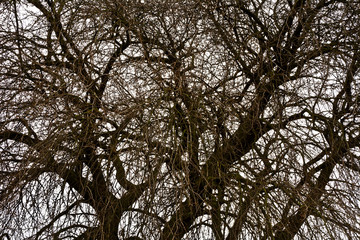 Branches without leaves of old trees in early spring against a cloudy 