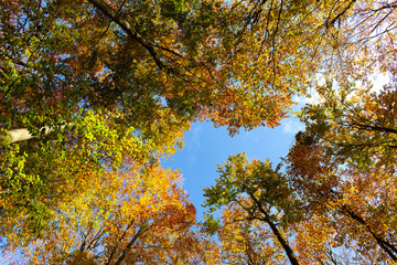 Beautiful colorful autumn trees seen from below.