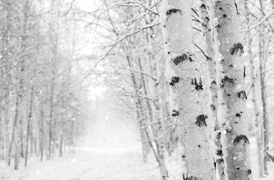 Winter landscape with snowy birch trees in the park