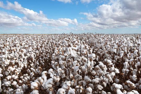 Cotton Crop