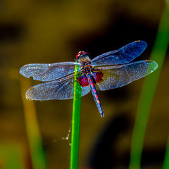 A red saddleback dragonfly sitting on a reed in the pond