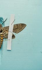 pinned tomato hornworm moth