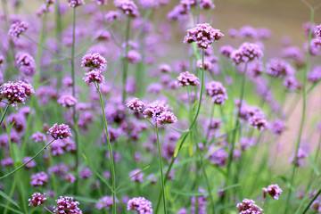 Beautiful blooming purple verbena flower in garden