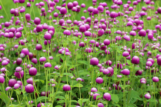 purple flowers, bachelor button, gomphrena, flowers in the garden