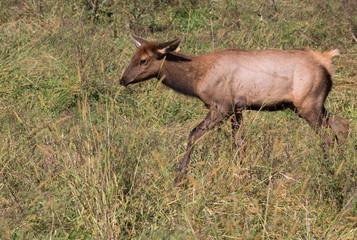 Elk calf (Cervus canadensis) running at prairie