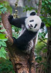 Zelfklevend Fotobehang Panda Cute panda bear climbing tree