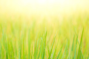 Morning dew on green grass with morning sunlight. Seleted focus. Background